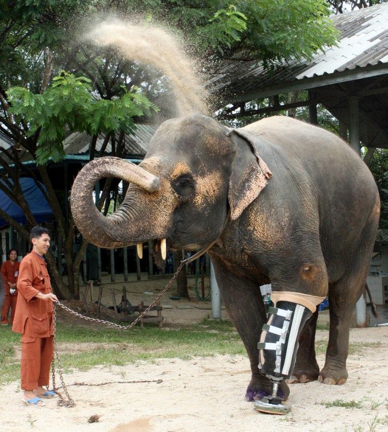 Image: A 48-year-old female elephant named Motala walks on her newly attached prosthetic leg at the Elephant Hospital in Lampang province