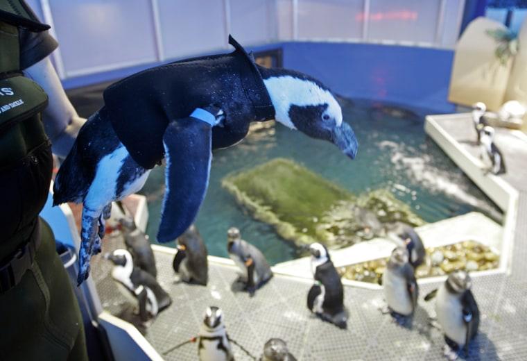 Image: Pierre the Penguin