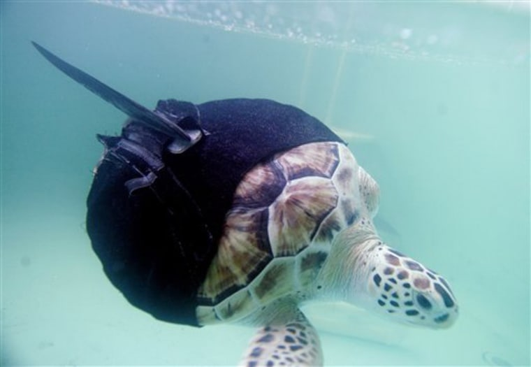 Image: Allison, a rescued green sea turtle