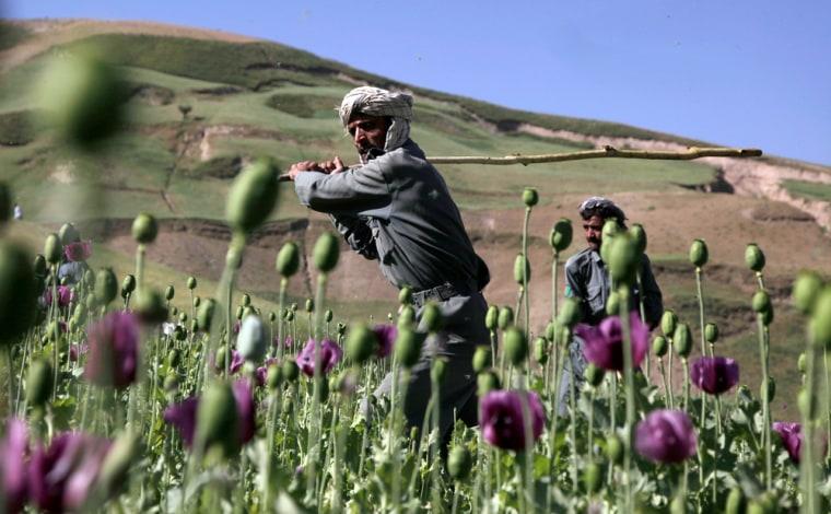 Image: Afghan, opium crop