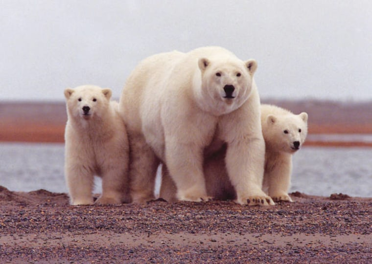"""Alaska's North Slope is shared by natives, oil rigs and polar bears such as this mom and her cubs. It and other areas along and off Alaska are likely to get """"critical habitat"""" designation for the bears."""