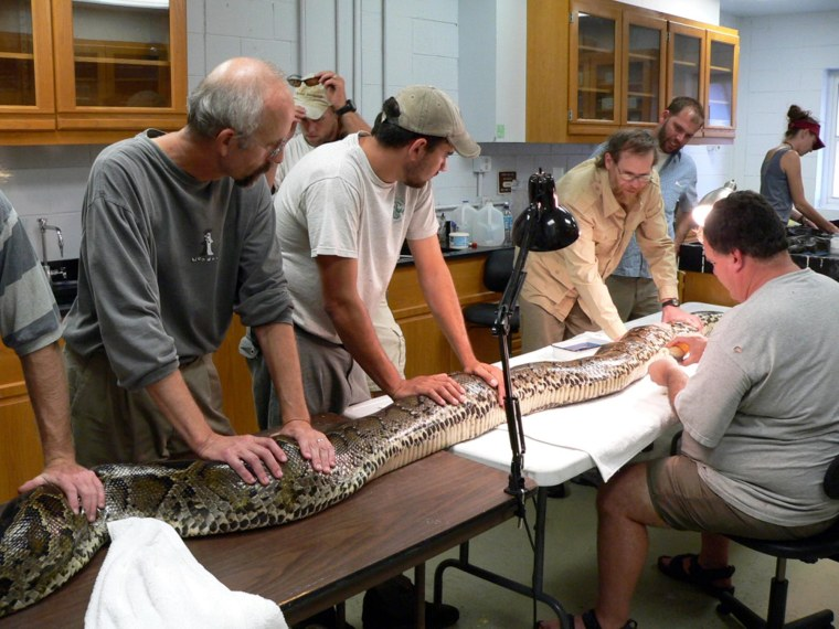 Researchers implant a radio transmitter into a 16-foot, 155-pound Burmese python at the South Florida Research Center at Everglades National Park.