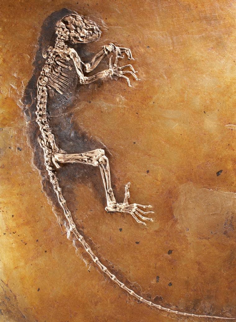 Image: Ida fossil