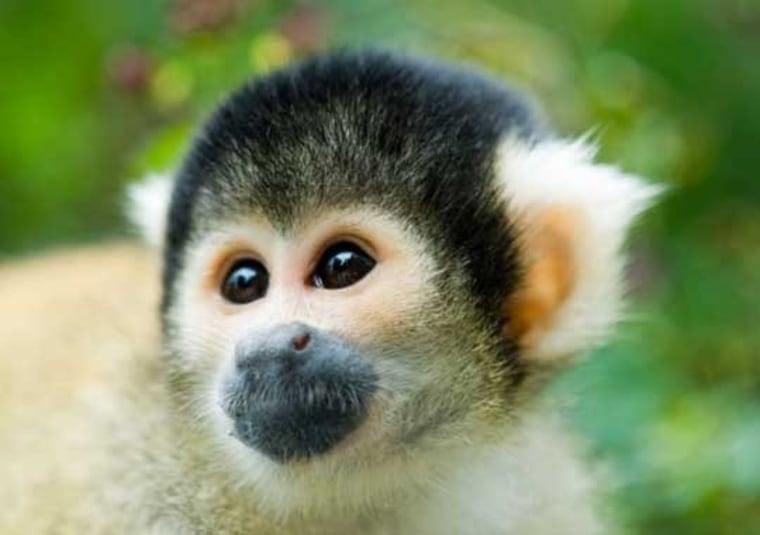 Image: Squirrel monkey