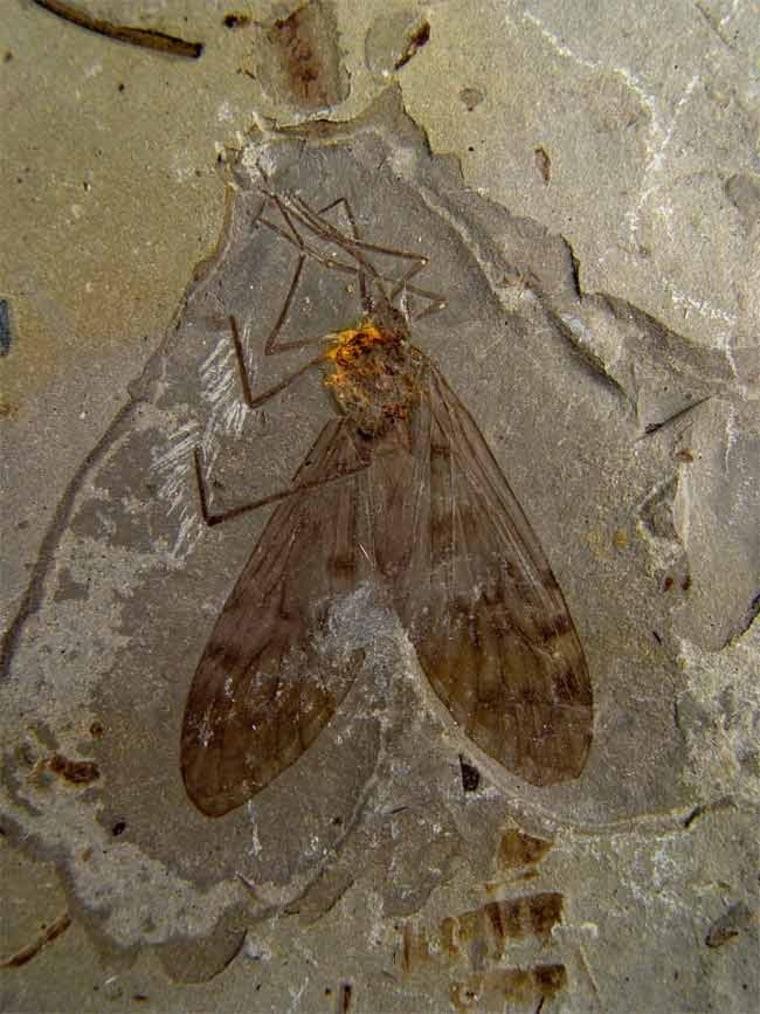 Image: Scorpionfly