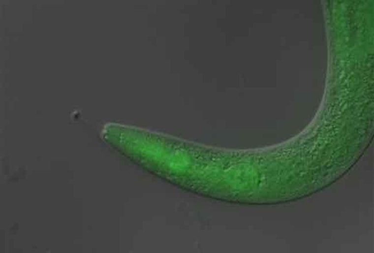"""This tiny worm became temporarily paralyzed when scientists fed it a light-sensitive material, or """"photoswitch,"""" and then exposed it to ultraviolet light."""