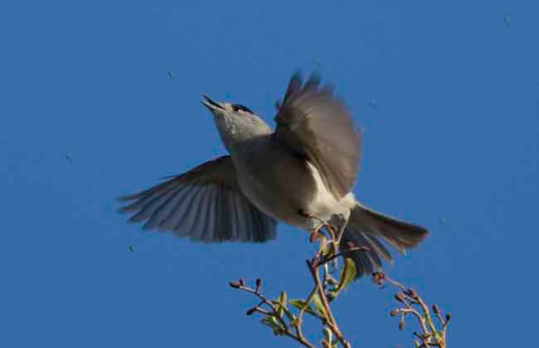 The European blackcaps (a male is shown here) have split into two non-breeding populations due to one group relying on wintertime feeding by humans.