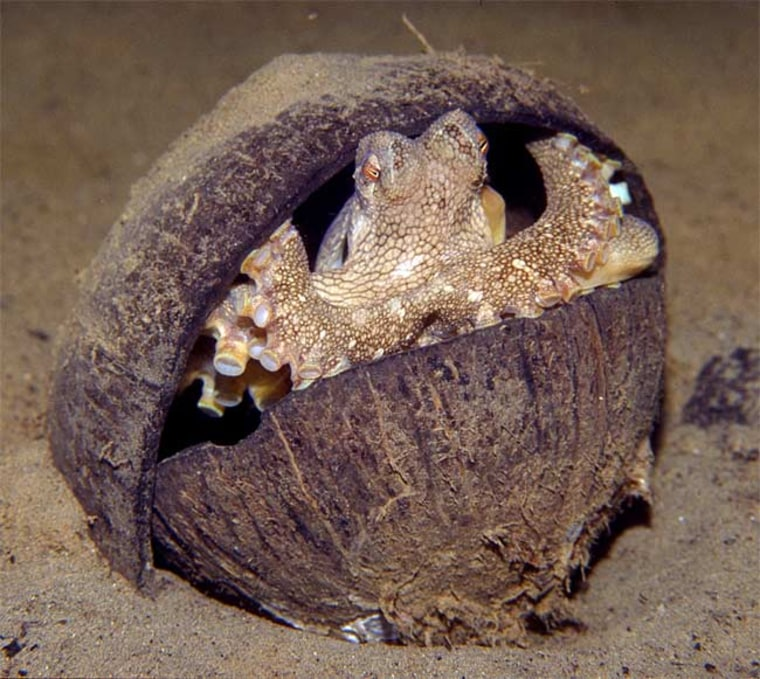 The veined octopus (Amphioctopus marginatus) uses coconut shell halves to build a shelter.