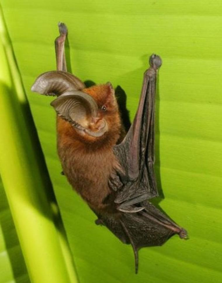 Image: Sucker-footed bat