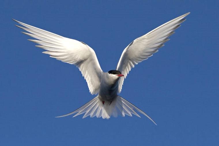 Image: Arctic tern (Sterna paradisaea)