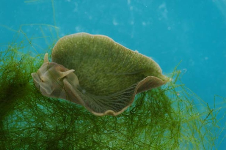 This green slug, which is part animal and part plant, produces its own chlorophyll and so can carry out photosynthesis, turning sunlight into energy, scientists have found.
