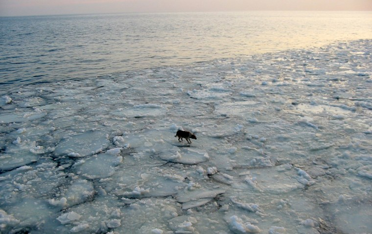 Image: A lonely dog is seen floating on ice floe 15 miles off the Polish Baltic Sea coast