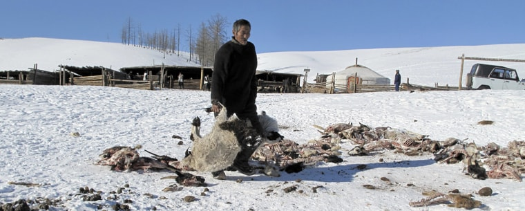 Image: Herdsman removes carcasses of goats who died from cold weather, in Mongolia