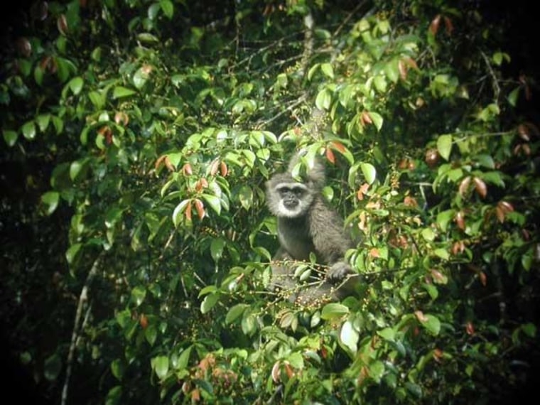 The wildlife inside Indonesia's Gunung Halimun Salak National Park includes gibbons like this one.