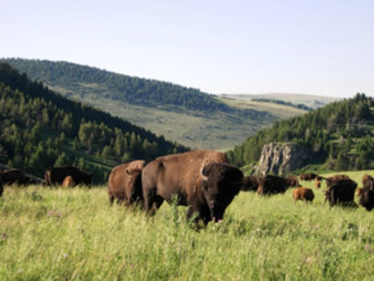 Ted Turner's Flying D Ranch in Montana, which is already home to thousands of bison, will be taking in 88 more under a deal with Montana.