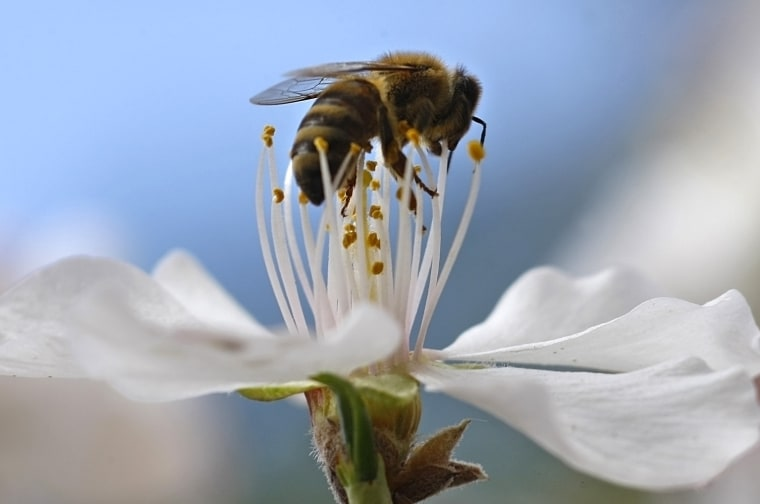 Image: A bee collects pollen from a flower in a park in Amman