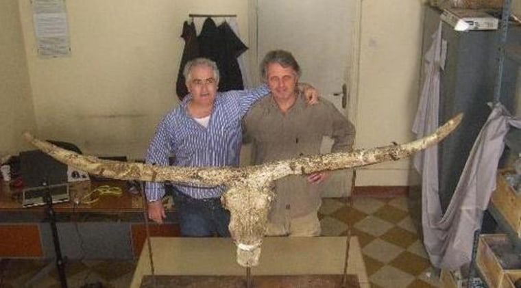 The reconstructed skull of the newly found species of early bull from Eritrea is shown with researchers Bienvenido Martinez-Navarro (left) and Francisco Landucci.