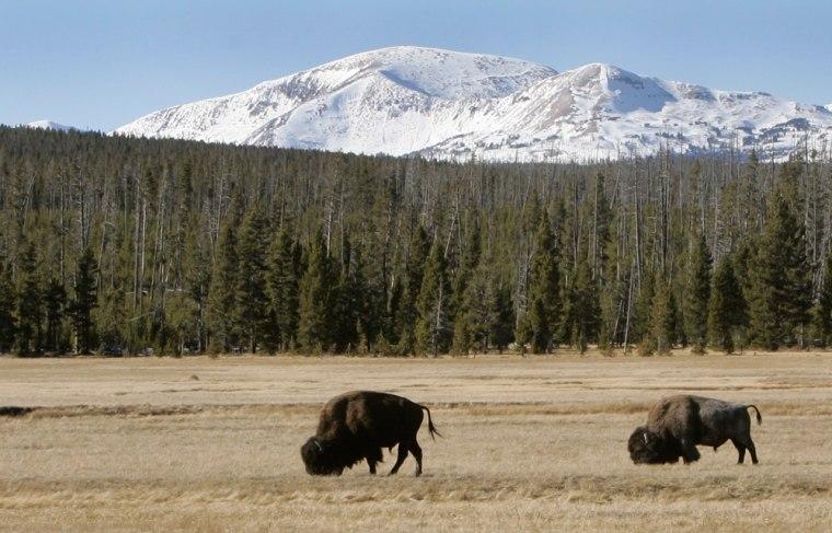 Image: Buffalo graze  in Yellowstone National Park, Wyo