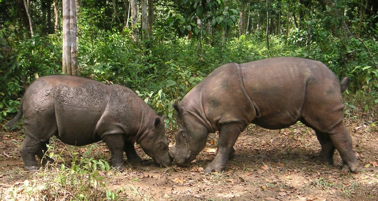 Image: rhinos Ratu and Andalas