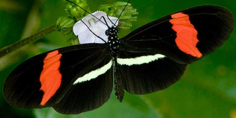 Image: Heliconius erato butterfly