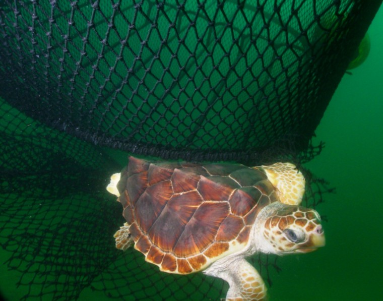 A loggerhead escapes a fishing net that has a built-in escape hatch for turtles. Activists want the federal government to require such nets in U.S. waters.