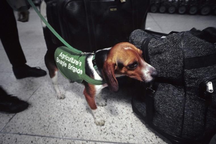The USDA's Beagle Brigade At Work