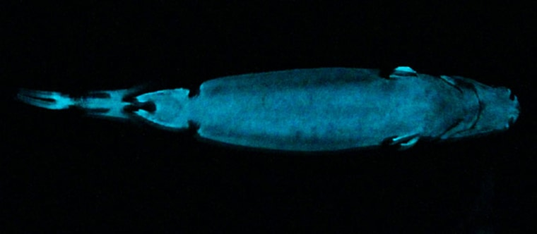 The velvet belly lantern shark's glowing underside is shown here; more than 10 percent of all known sharks are luminous.