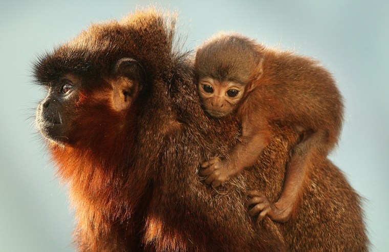 A Baby Monkey Is The First To Be Born In The New Rainforest Biome