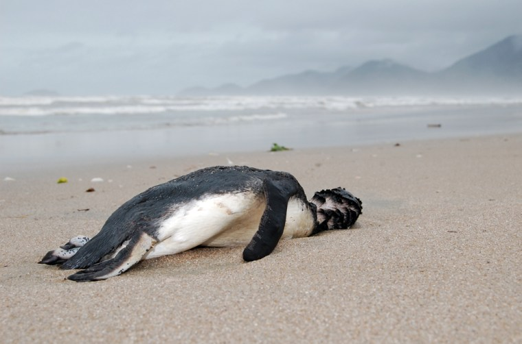 Image:a dead penguin sits on the sand at Peruibe beach