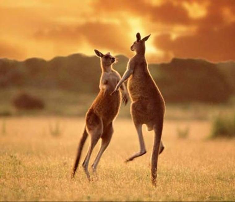 Image: A pair of Kangaroos cavort