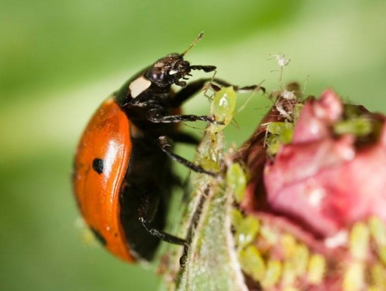 Image: Ladybug