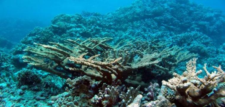 Image: Elk-horn-shaped coral under the sea