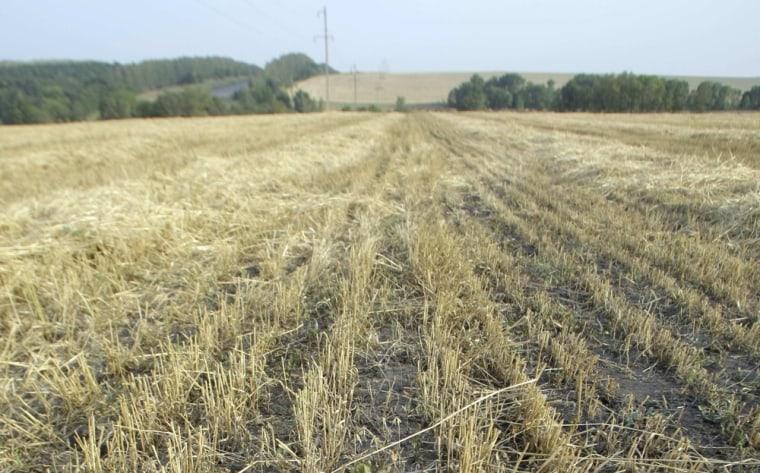 Image: Russia wheat