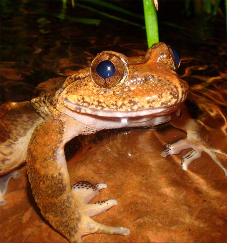 Image: Male spiny frog