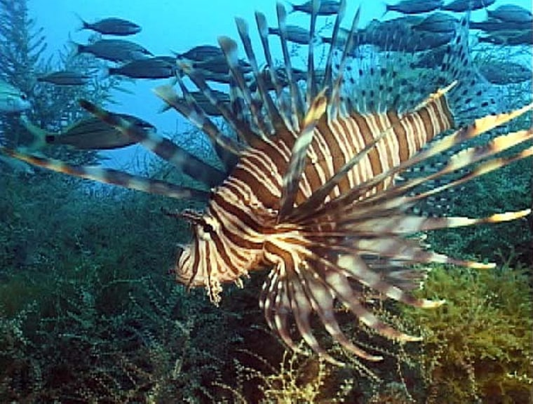 Image: Lion fish