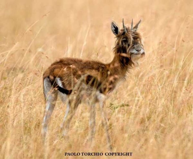 Image: Bearded antelope