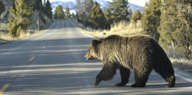 Image: grizzly bear near Yellowstone Park