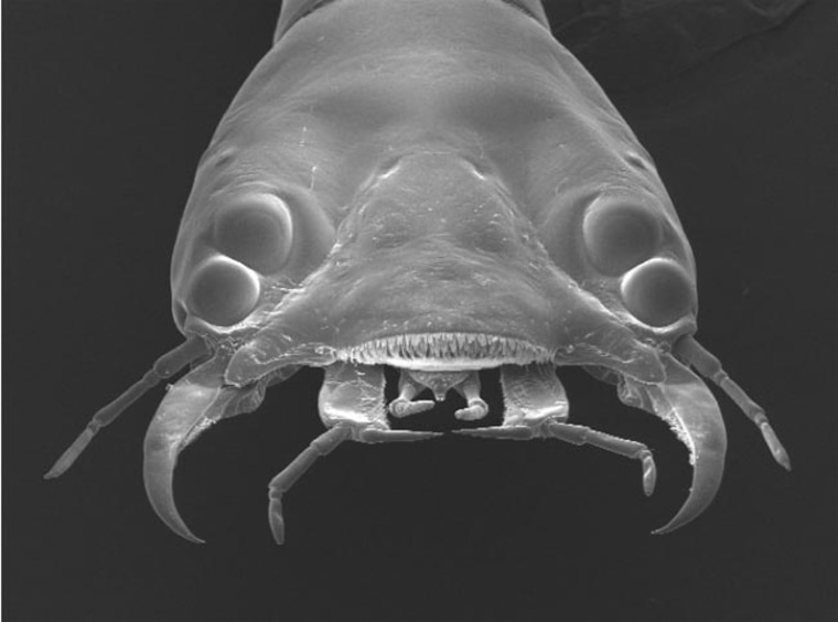 The head of a diving beetle larva shows its four primary eyes (two on each side of its face), which have the bifocal abilities. In total, the larva sports six eyes on each side of its face.