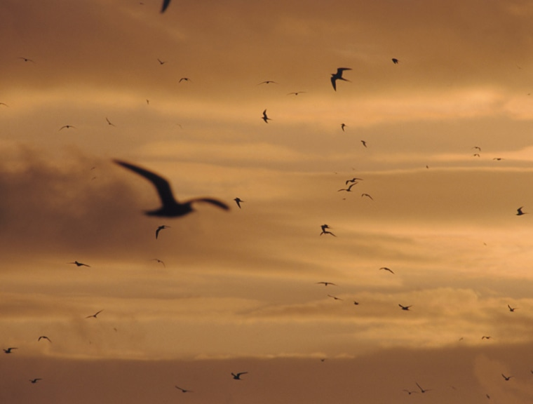 Images: Sooty terns