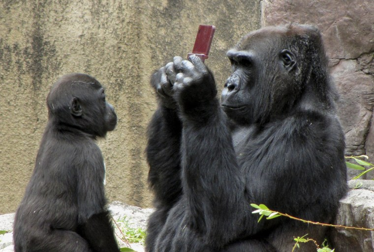 A gorilla named Bawang got a chance to play a Nintendo DSi XL when a boy dropped his game machine into the San Francisco Zoo's gorilla enclosure. Bawang's adopted son, Hansai, was hoping for a turn too.