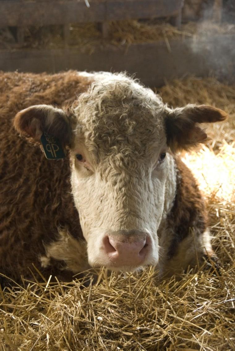 Image: A healthy cow