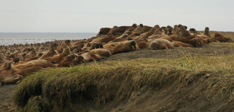 Image: Walrus