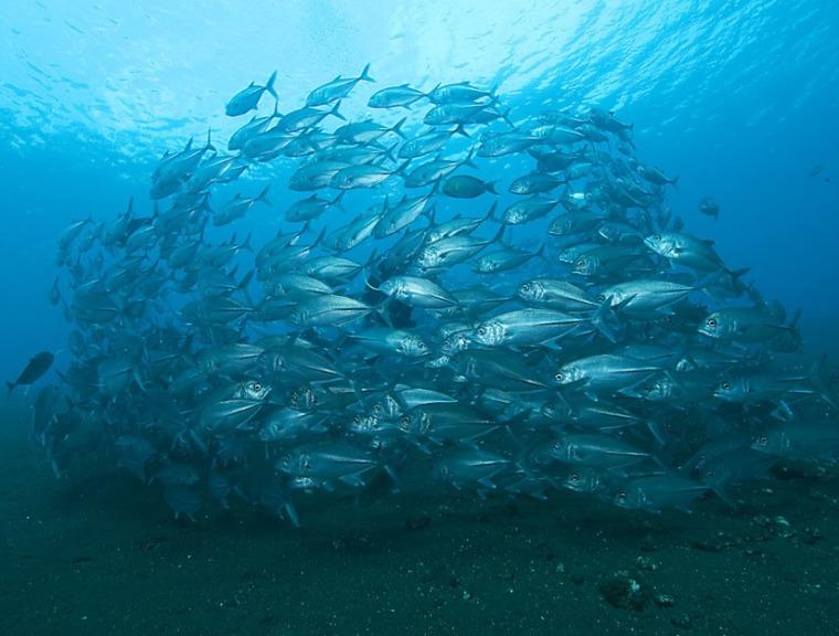 Image: Fish schools