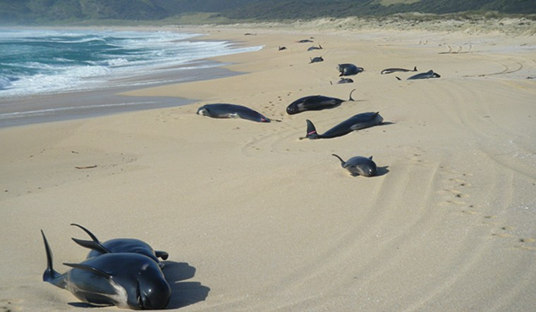 Some of the dozens of pilot whales that beached themselves in Spirits Bay, New Zealand, are seen Wednesday.