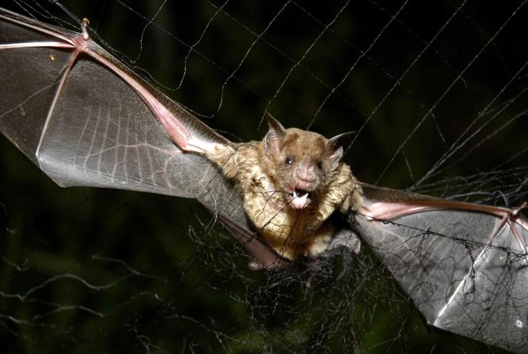 Image: vampire bat