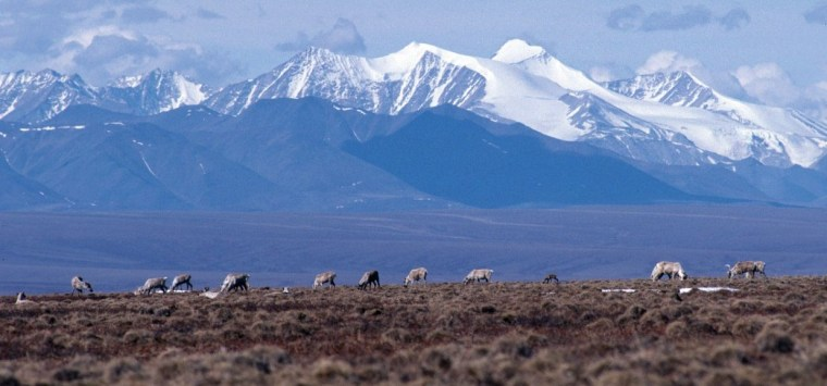 Caribou graze along the coastal plain of the Arctic National Wildlife Refuge, which is back in the spotlight over a federal review that could close it to drilling for good.