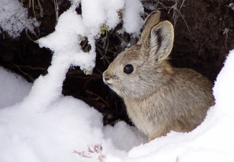 Pygmy rabbits are the smallest rabbit species in North America, weighing around a pound and growing no bigger than a foot long.