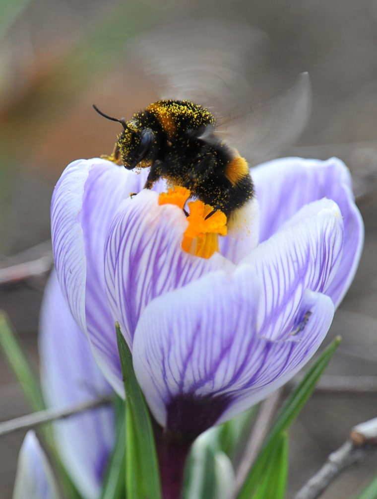 Image: A bumblebee collects nectar from a flower in one of Kiev's parks
