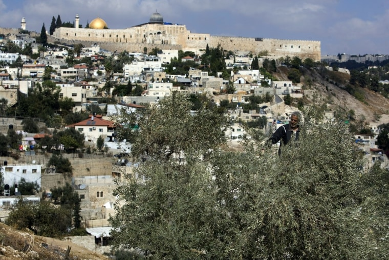 Image: A Palestinian man harvests his olive tre