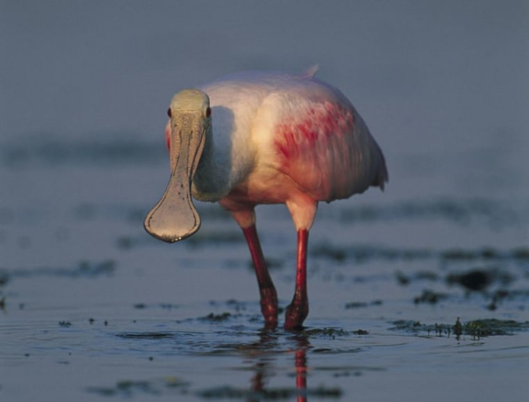 A roseate spoonbill at the shore in Merritt Island, Fla. Fossils show that shorebirds during the time of the dinosaurs behaved just like modern shorebirds.